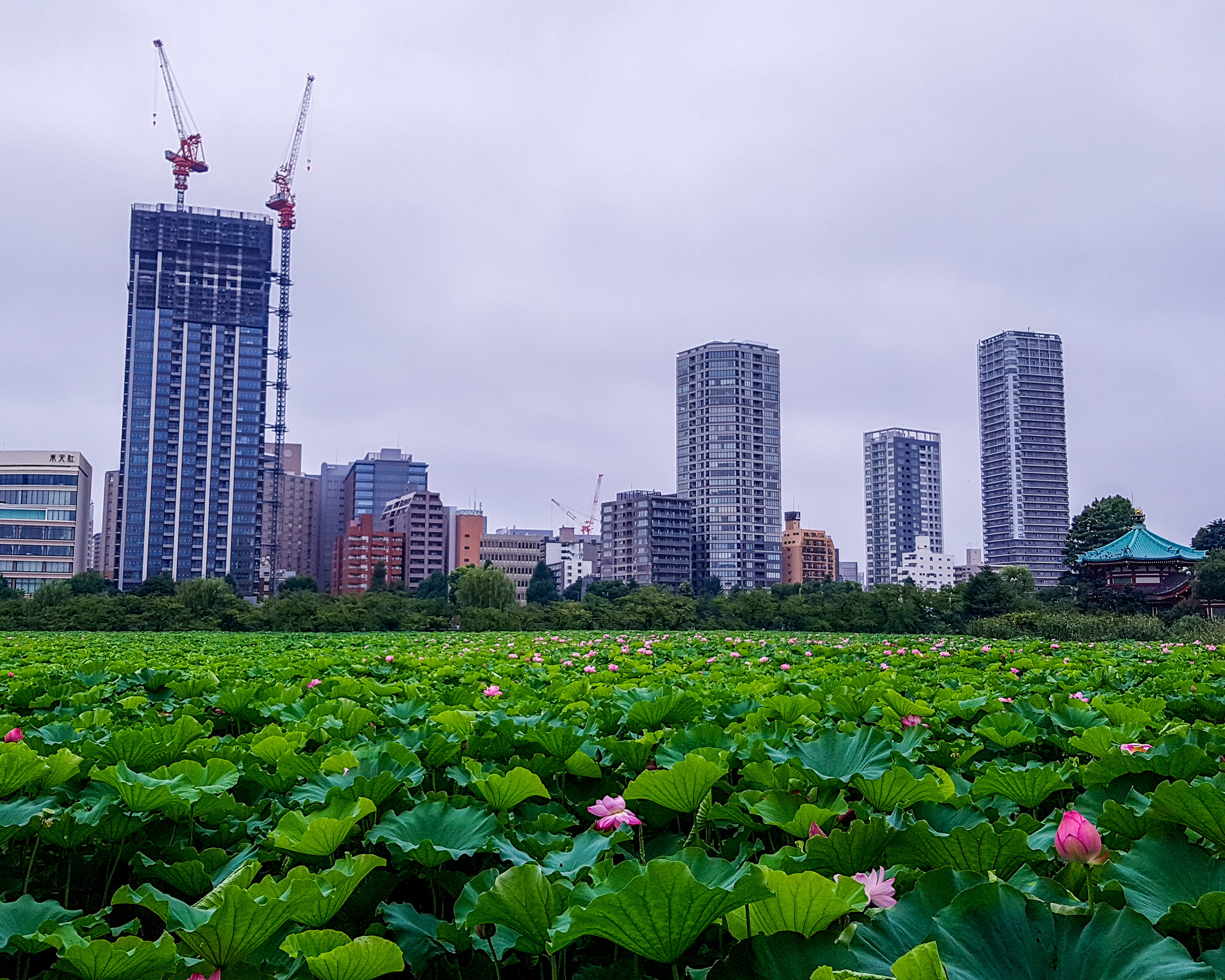 Ueno Park, Tokyo, Japan. This lotus field can be found in the middle of bustling Tokyo, quite a popular running spot too, even in the middle of a heat wave!