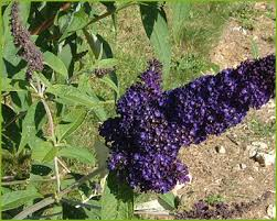 Buddleja d 'Black Knight'