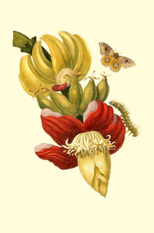 bananas were sent to hans sloane in 1739. banana flower painting maria sybilla merian