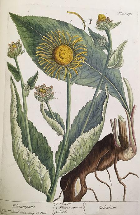 Elecampane ( Inula helenium ), plate 473.