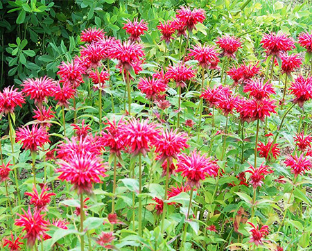 20 web Monarda 'Cambridge Scarlet'.jpg