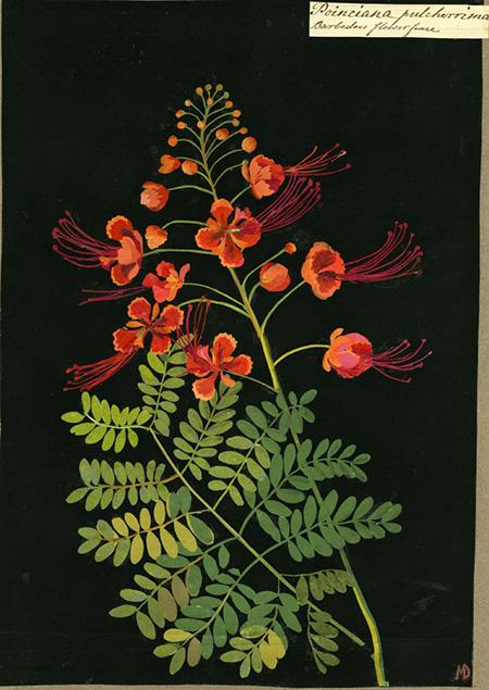 Poinciana pulcherrima, 1778. (Caesalpina pulcherima, Pride of Barbados), BM.