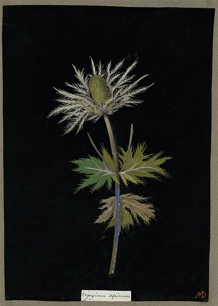 Eryingium alpinum, 1776 (Sea Holly), BM.