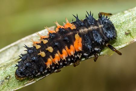 Ladybird Larvae, commons wikimedia.org