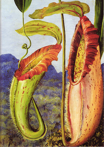 nepenthes northiana, marianne north, kew org.