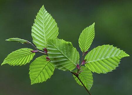 Hornbeam leaves, colin varndell, npl