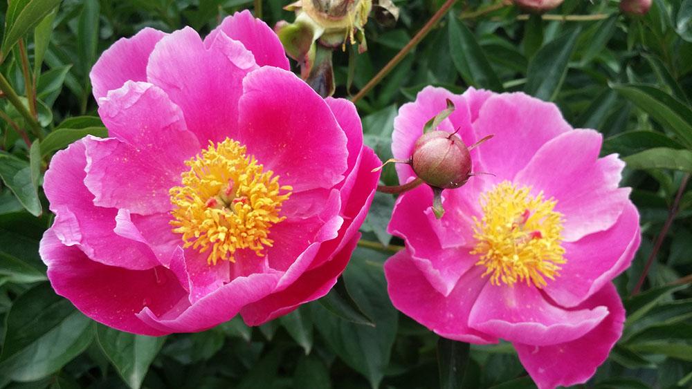 1-Centro-Botanico-Moutan-Vitorchiano-Peonie-in-fiore-Green-Atelier-News.jpg
