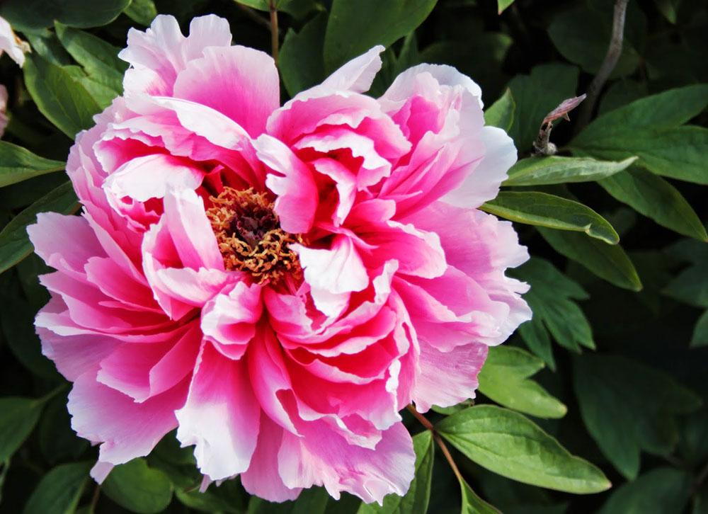 2-Centro-Botanico-Moutan-Vitorchiano-Peonie-in-fiore-Green-Atelier-News.jpg