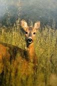 roe-deer2-025yw5.jpg