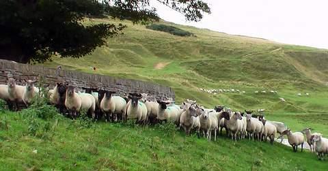 sheep_in_force.jpg