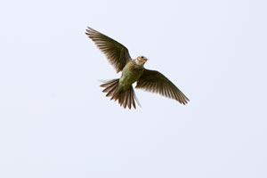 Sky Larks are another under-pressure species that could flourish here