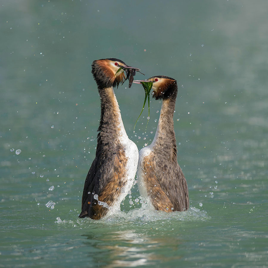 Great Crested Grebe. Image: Alamy