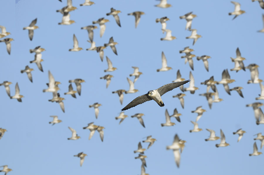 Peregrine scattering Golden Plovers. Pic: Gary K Smith / Alamy