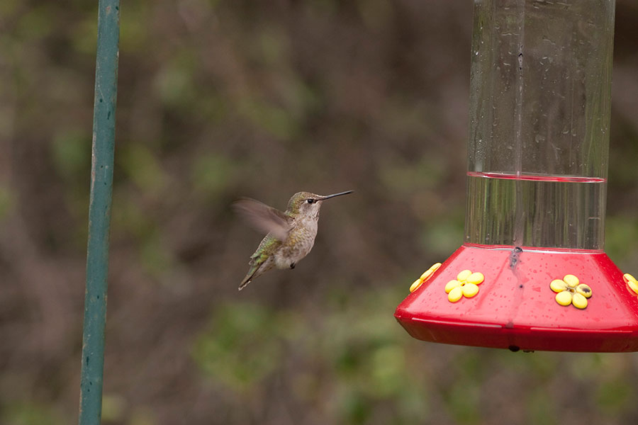 rubythroatedhummingbird.1077.jpg