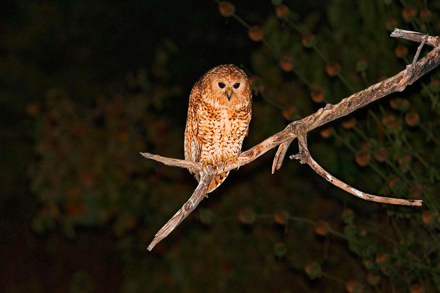 Pel's Fishing Owl (pic: AfriPics.com/Alamy)