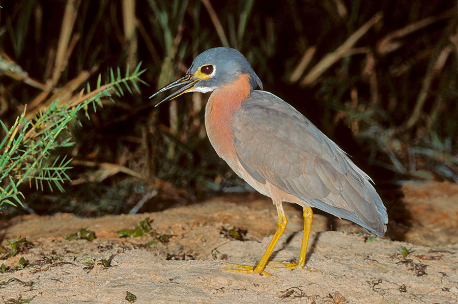 White-backed Night Heron (pic: imageBROKER/Alamy)