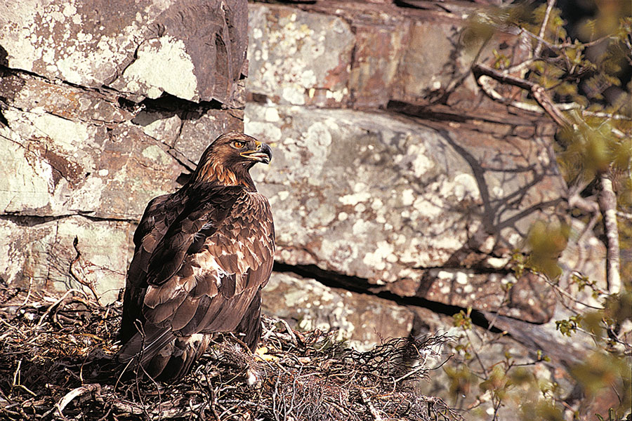 Success story: Scottish Eagle is just one 2016 wildlife highlight. Pic: RSPB
