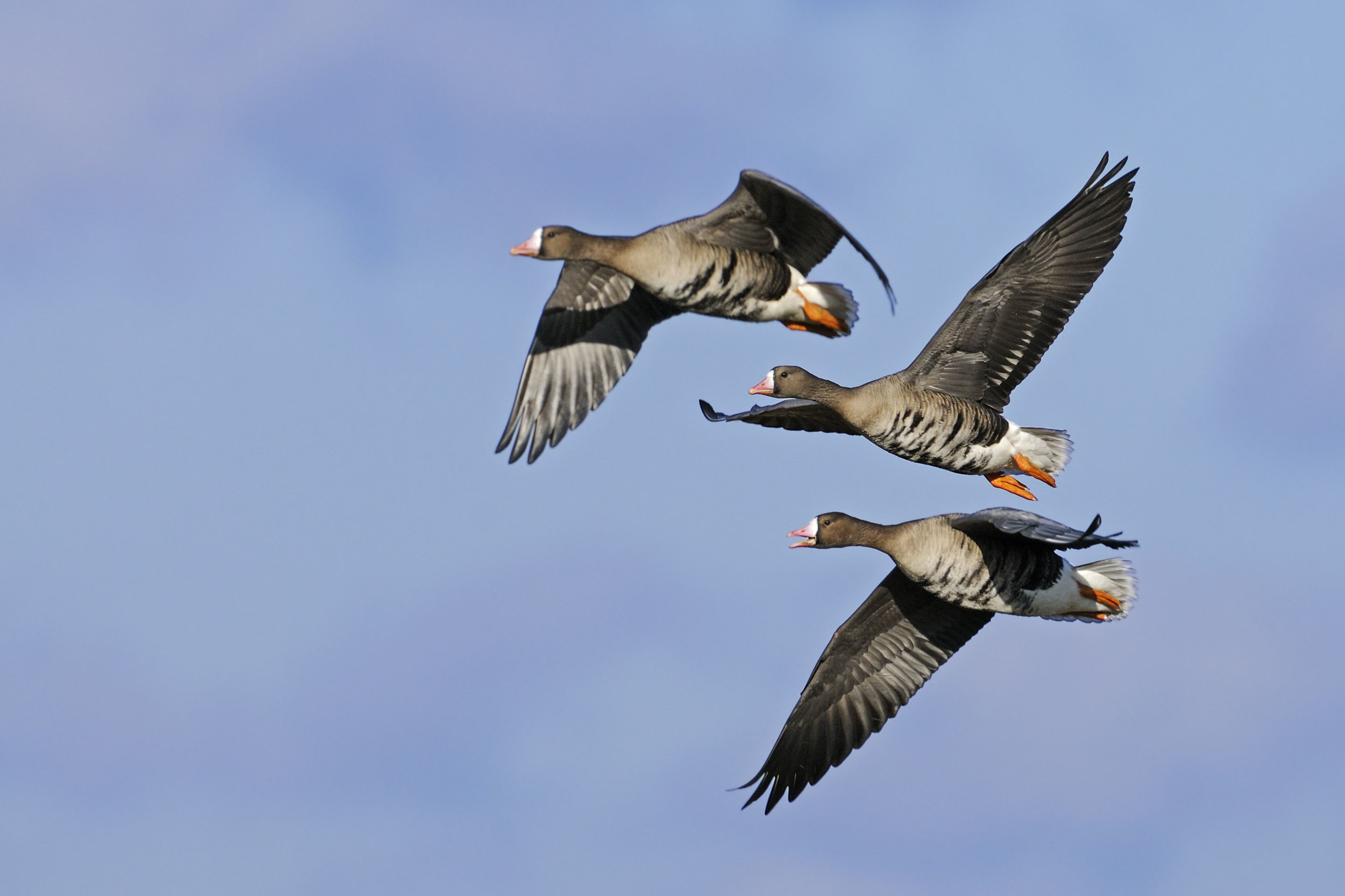 European White-fronted Geese