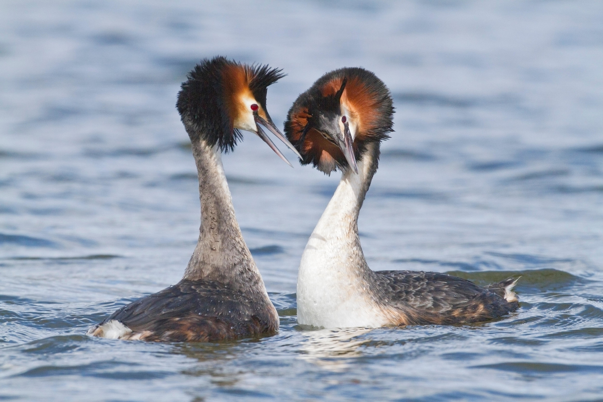 Displaying Great Crested Grebes