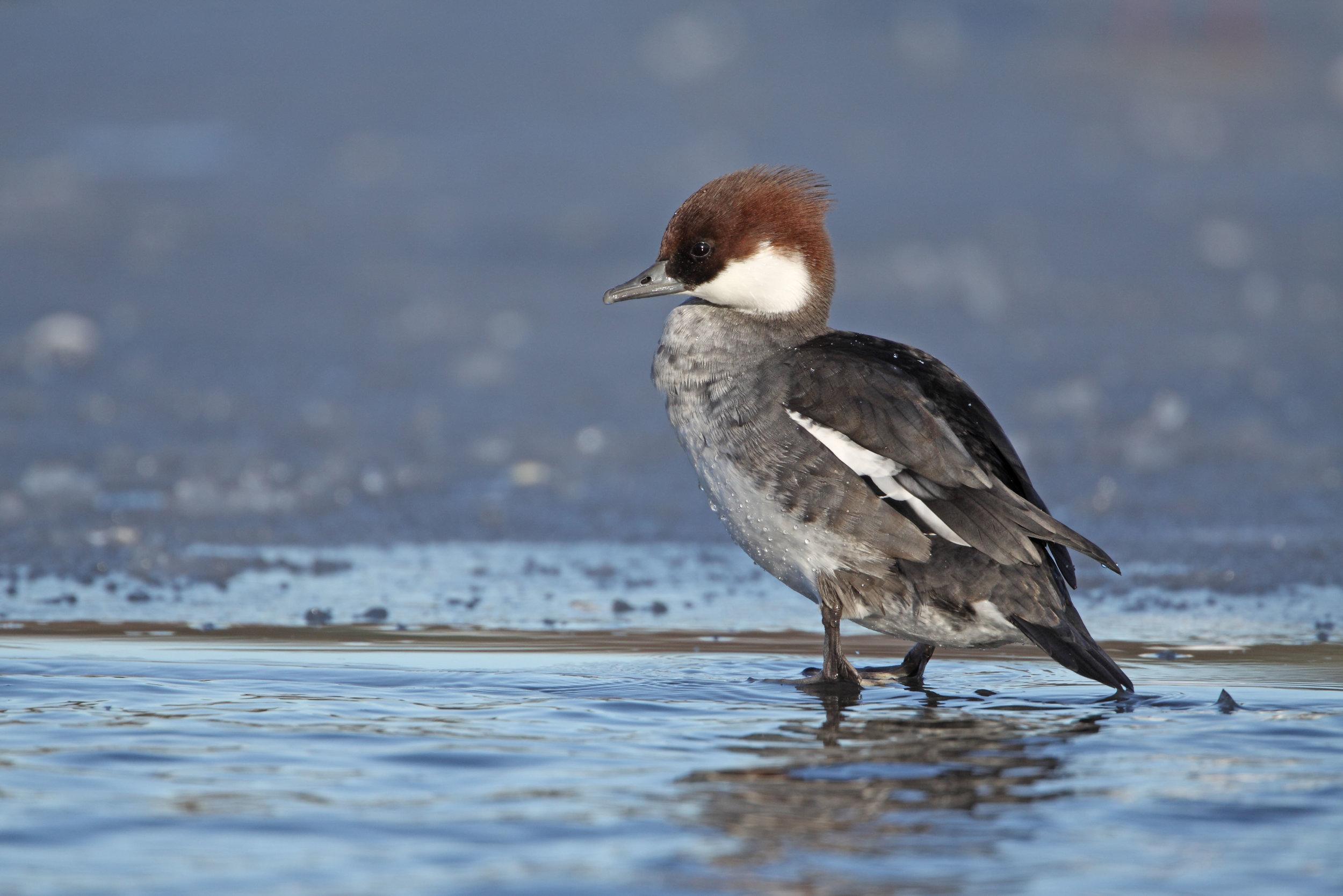 Female ('redhead') Smew