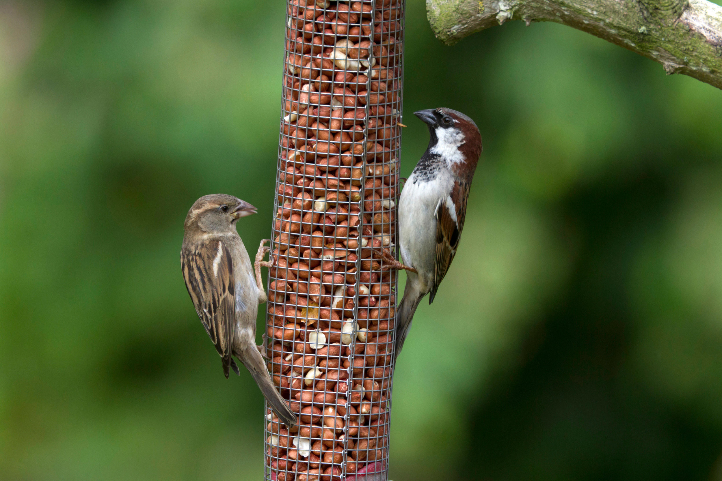 Female (left) and male (right) House Sparrow