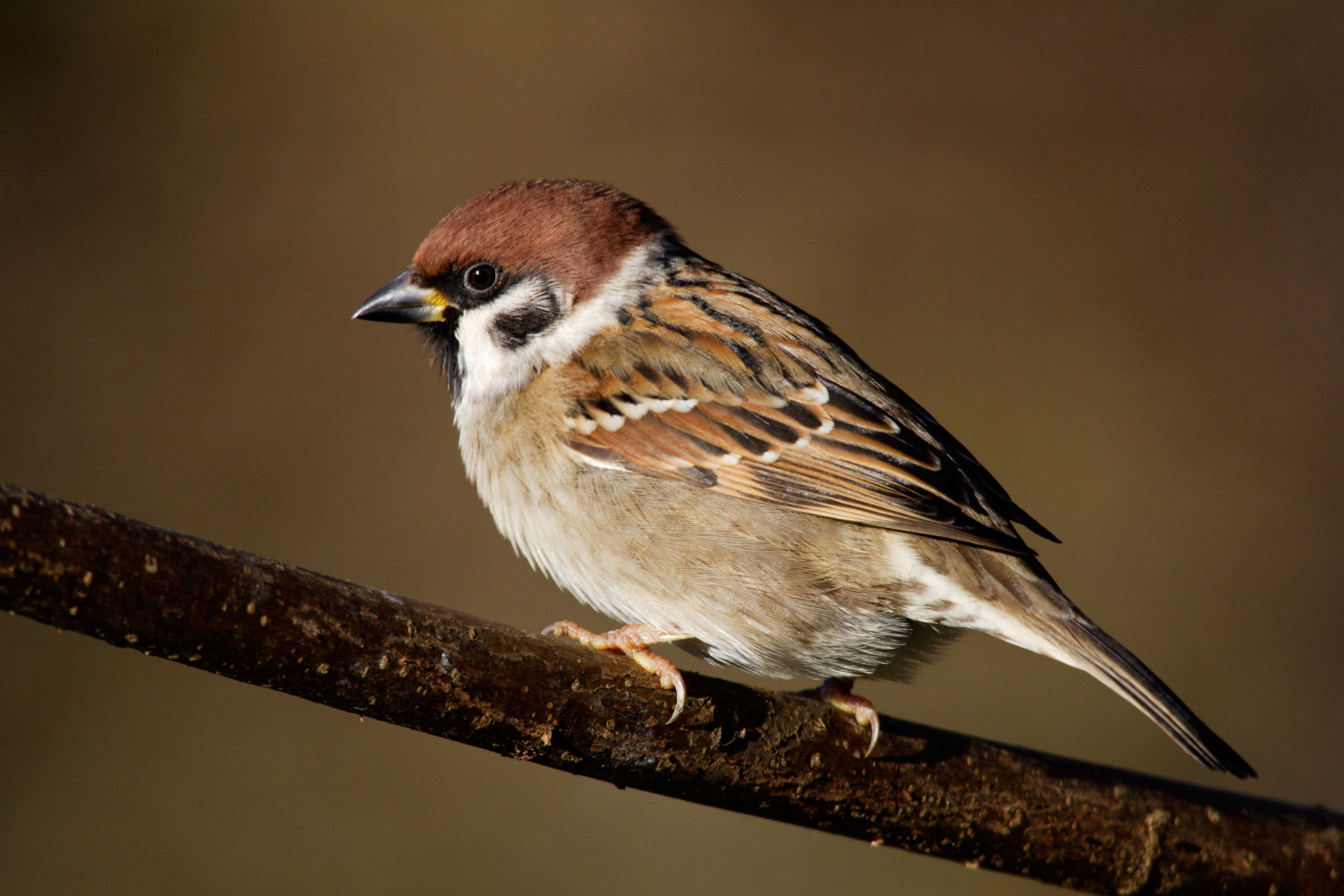 Tree Sparrow (males and females are not distinguishable in the field)