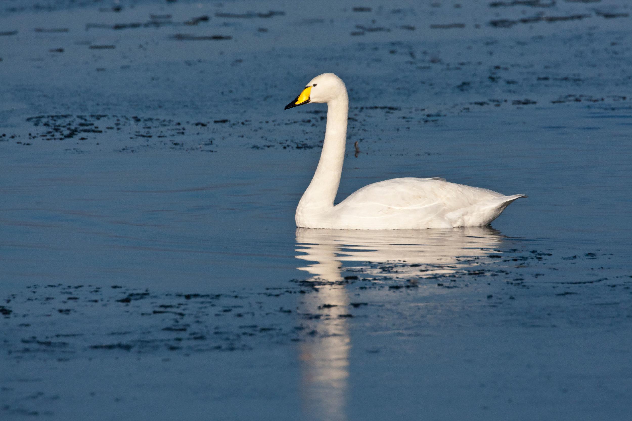 Adult Whooper Swan