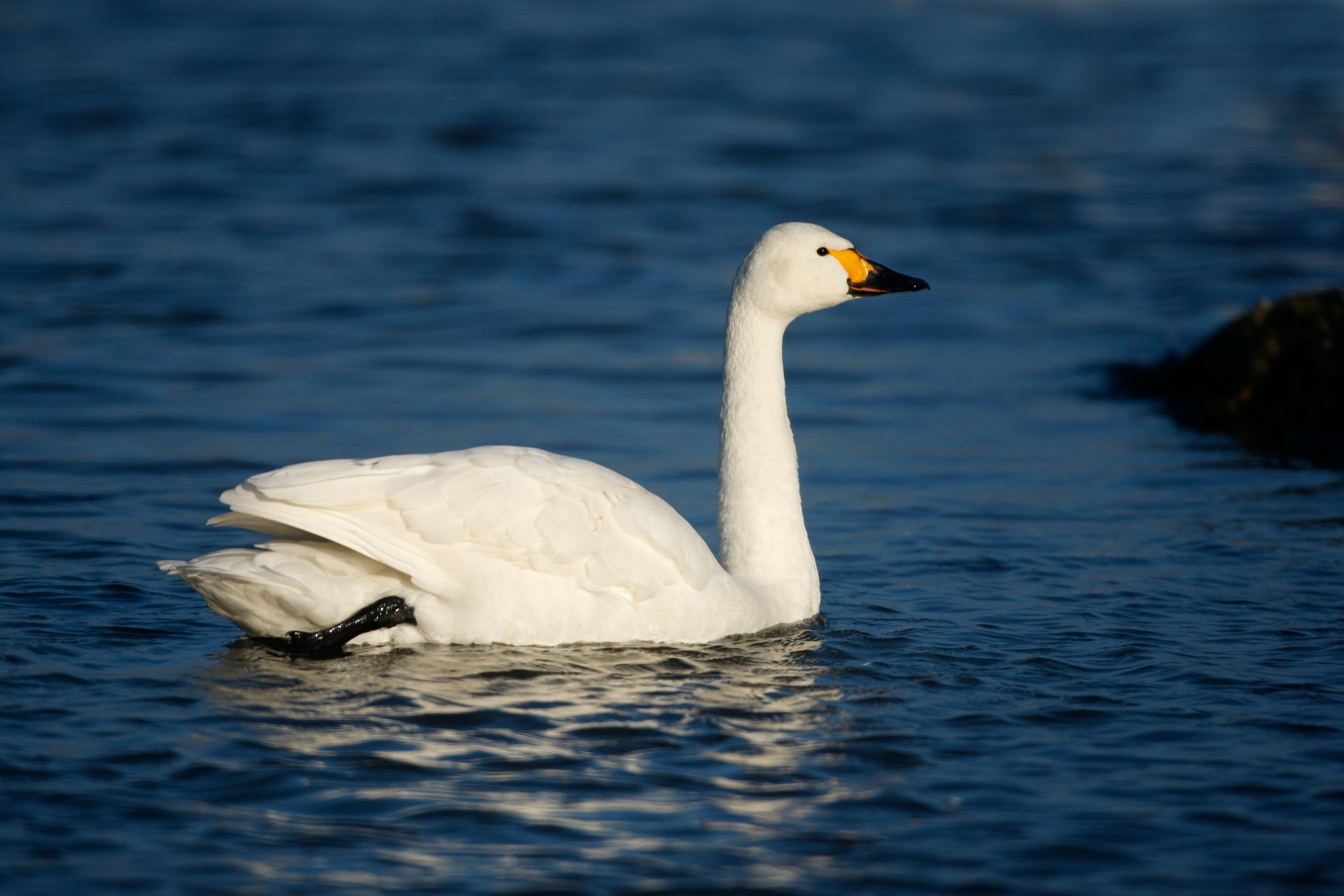 Adult Bewick's Swan