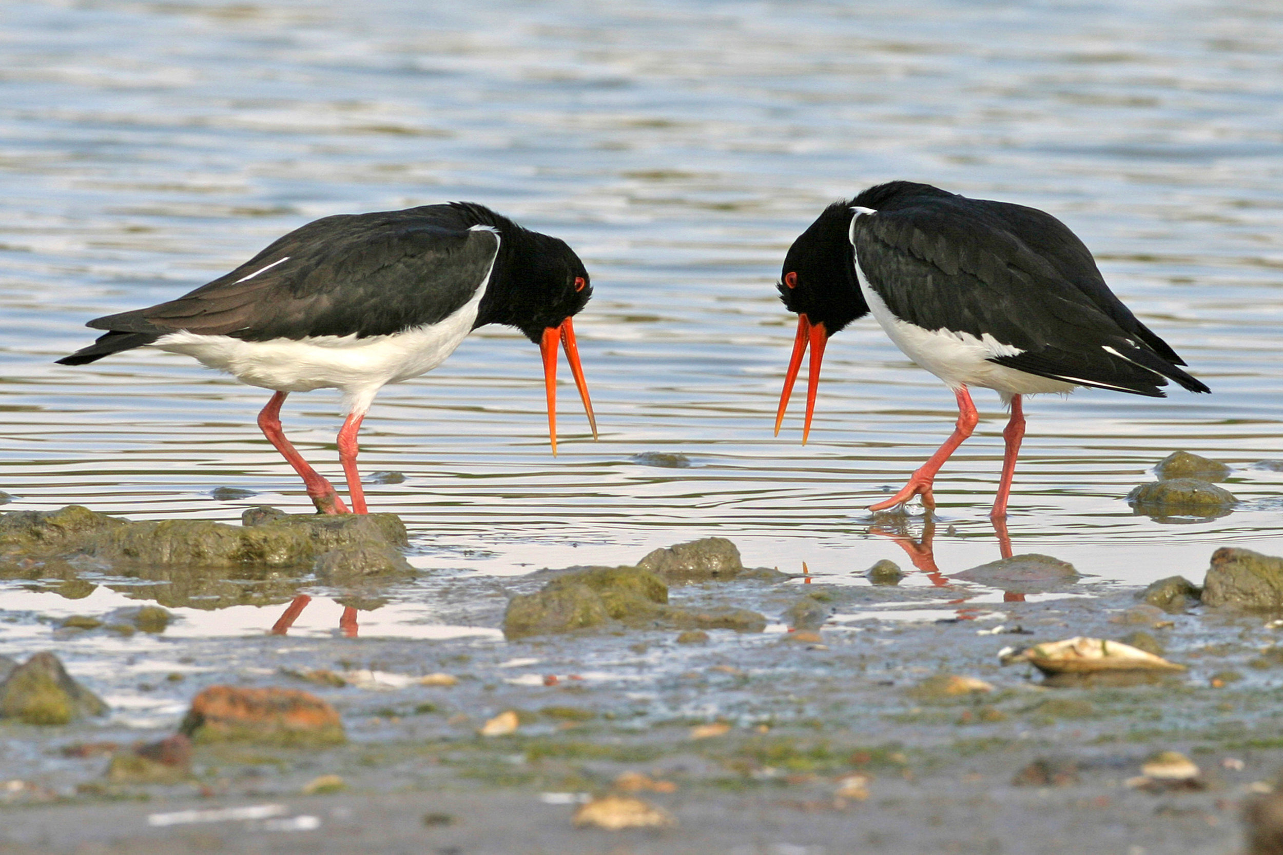 Displaying Oystercatcher pair