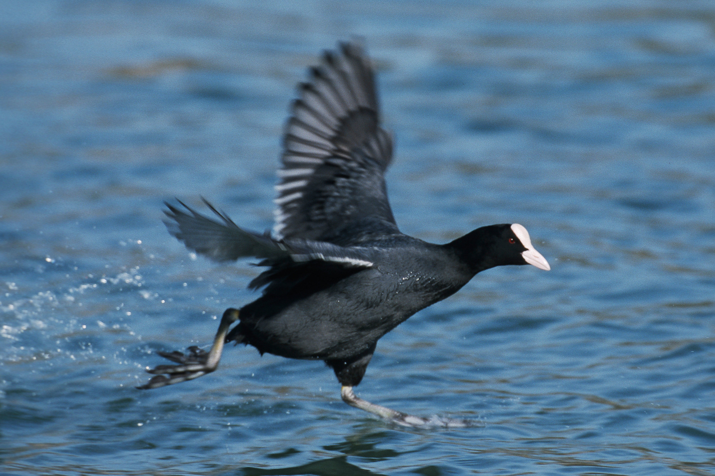 Coot taking off from water