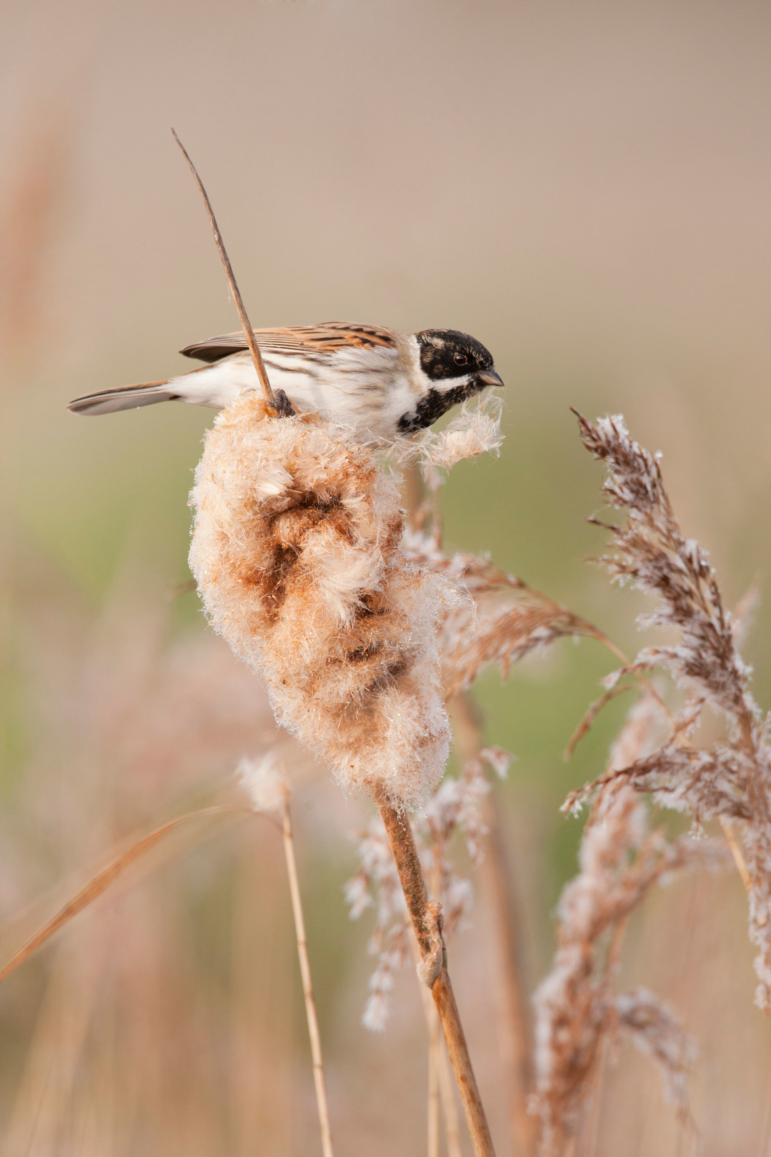 Male Reed Bunting in reedmace and reed bed