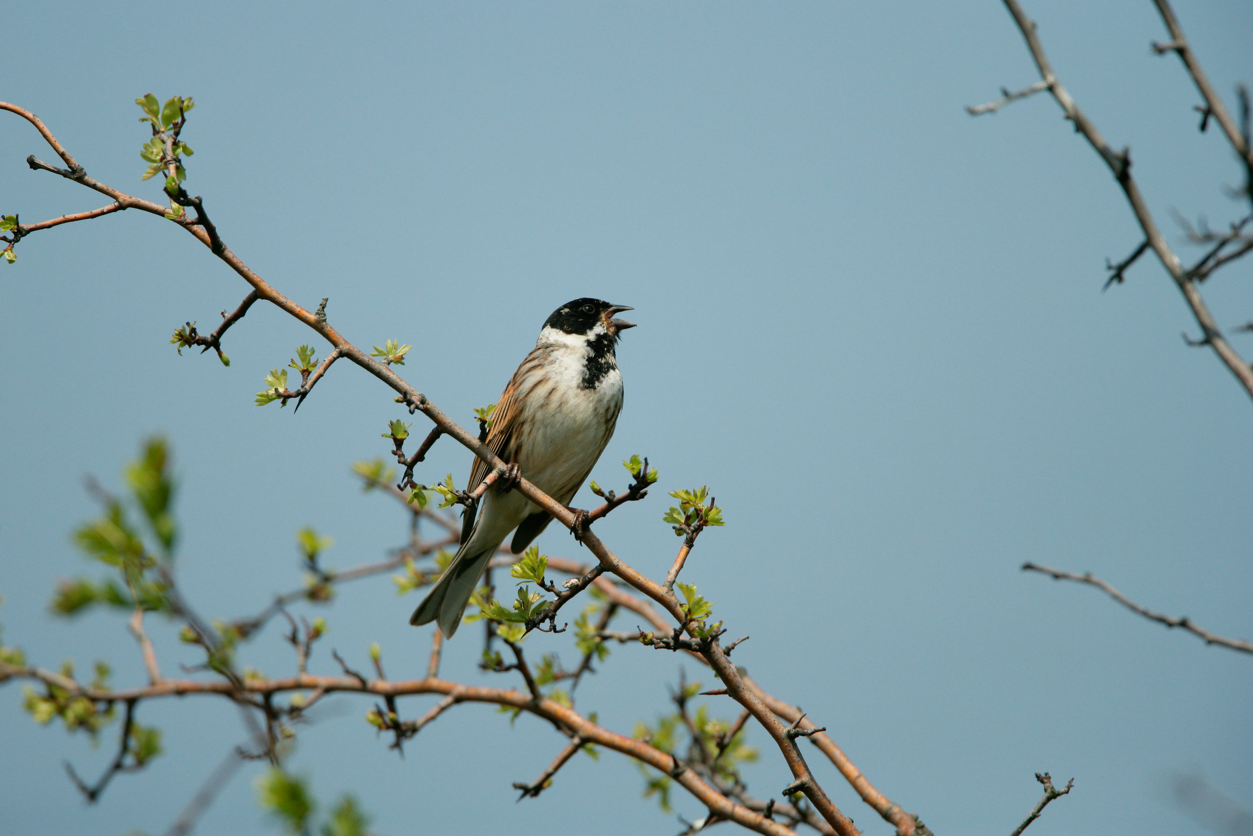 Singing male Reed Bunting