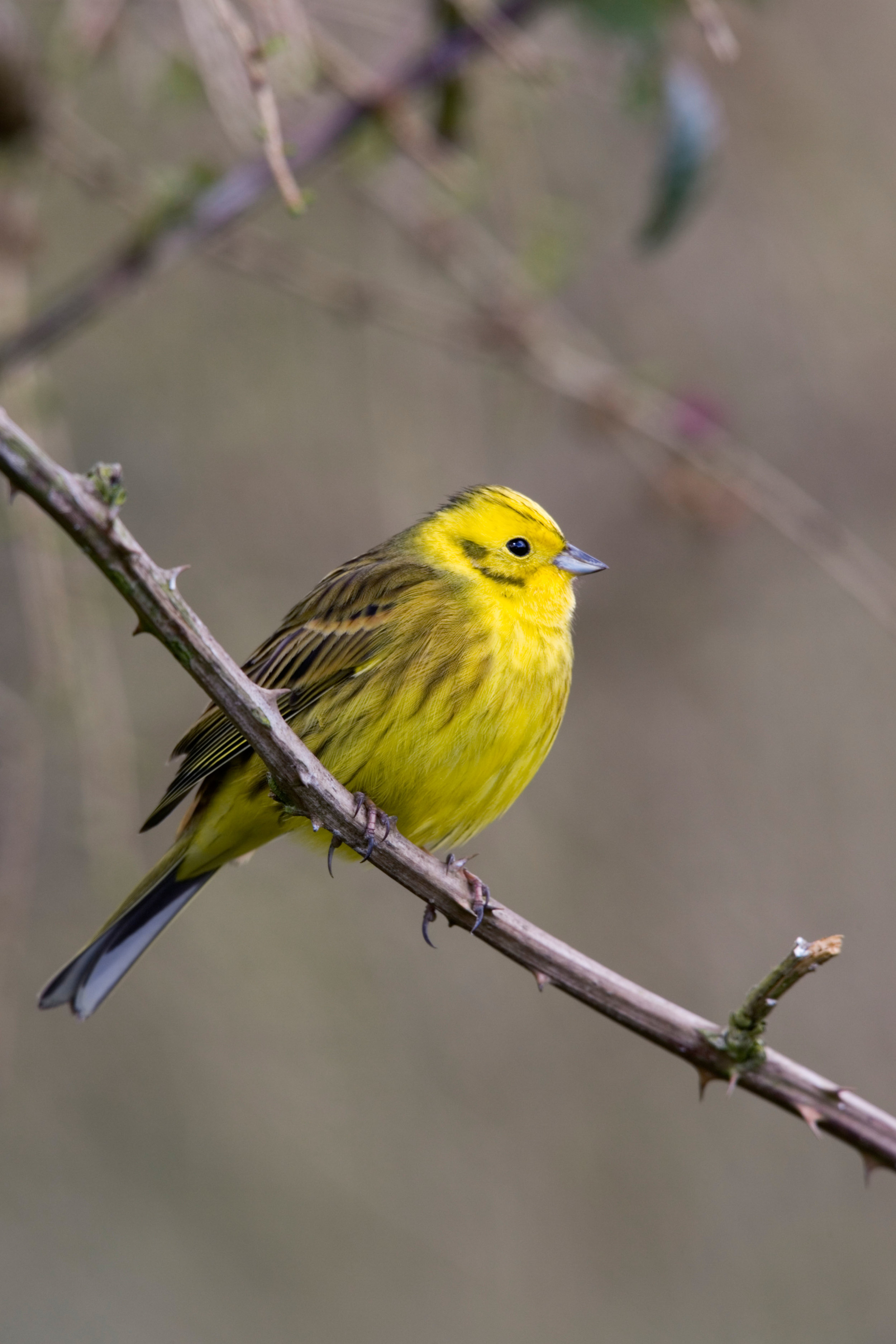 Male Yellowhammer, showing yellow underparts