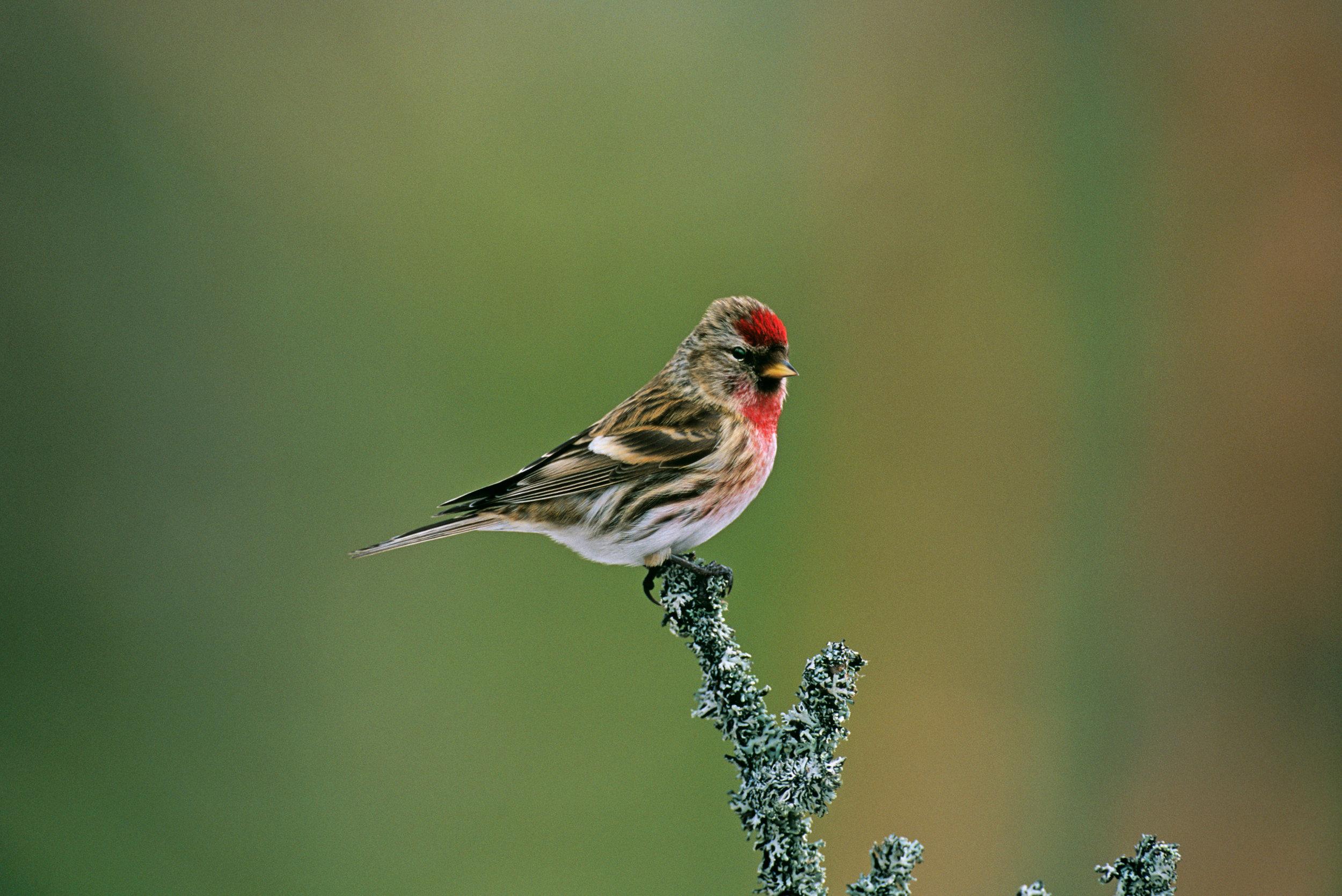 Male Lesser Redpoll