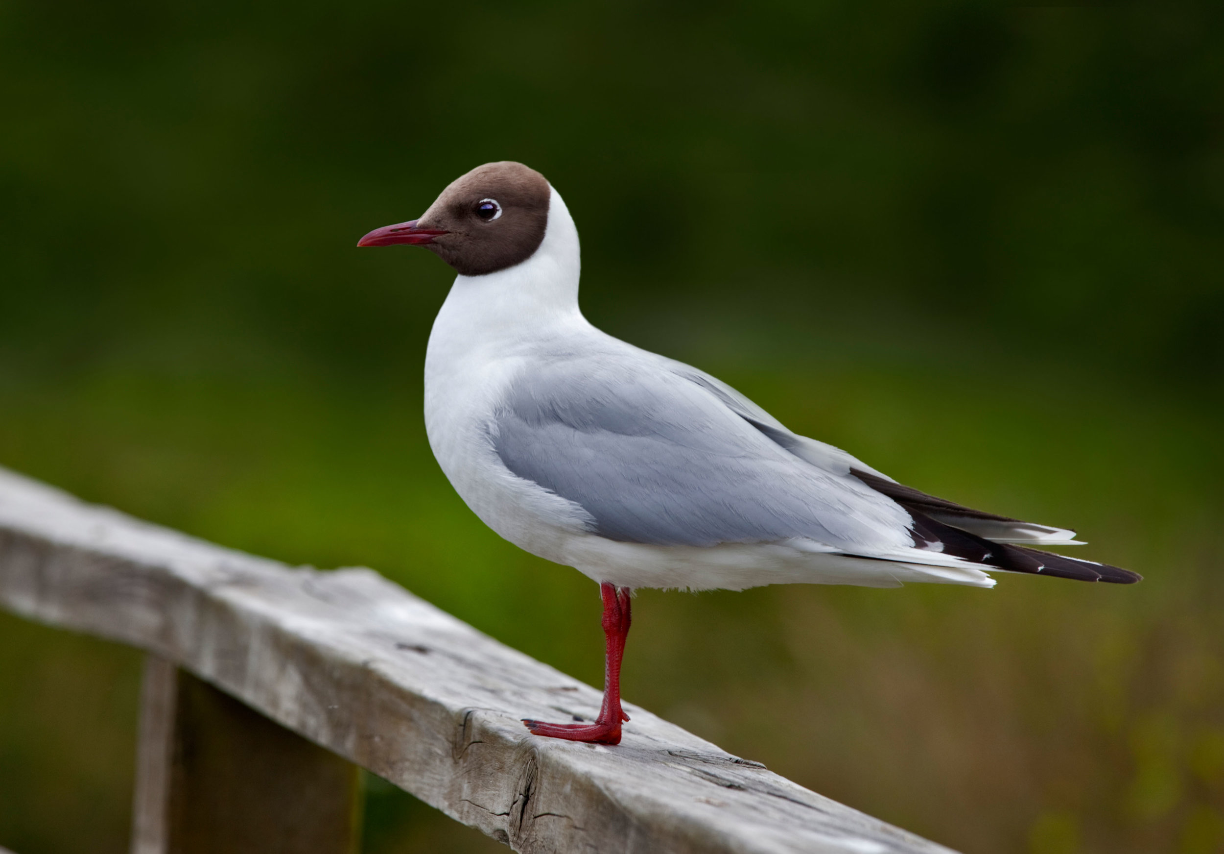 Adult summer Black-headed Gull