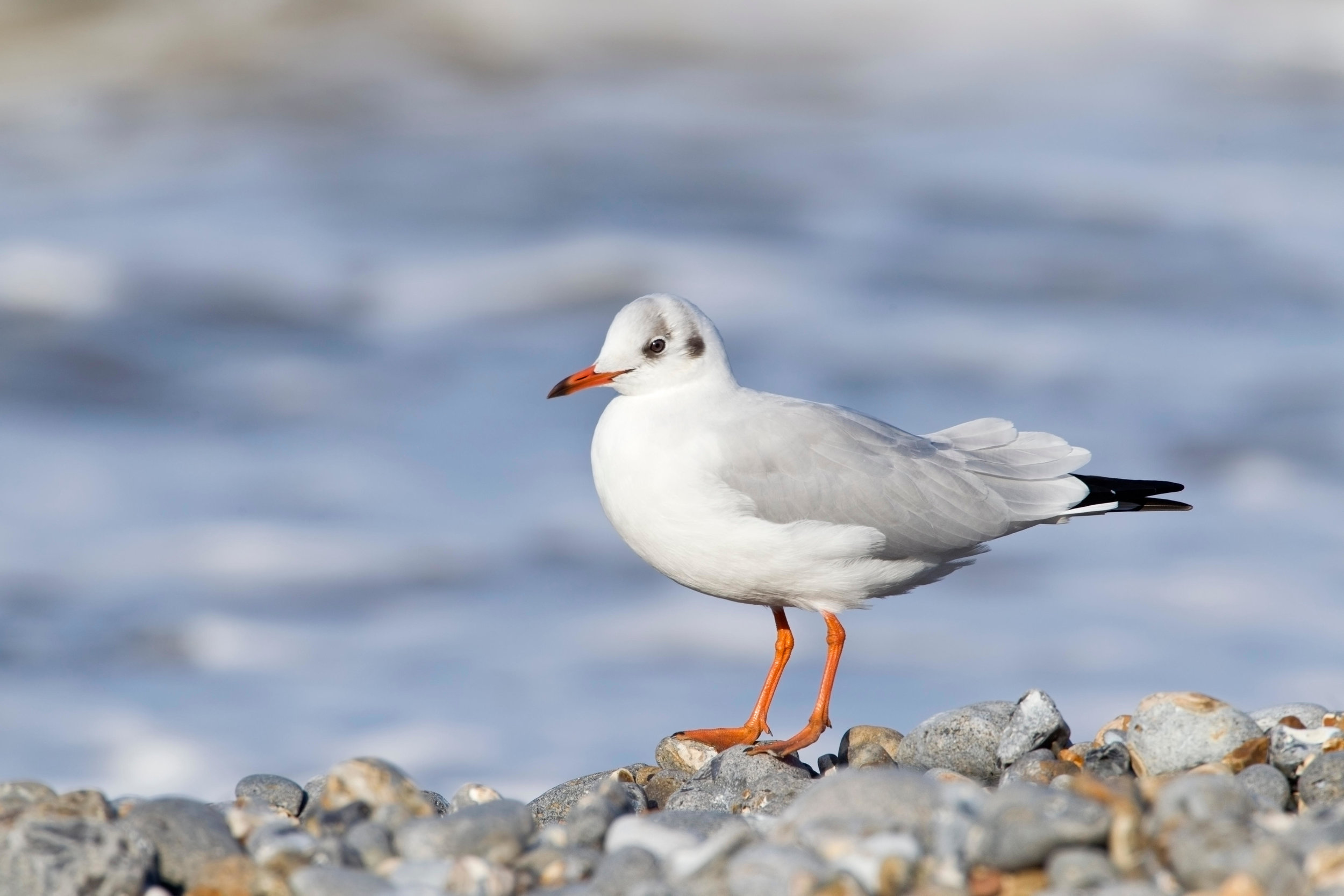 Adult winter Black-headed Gull