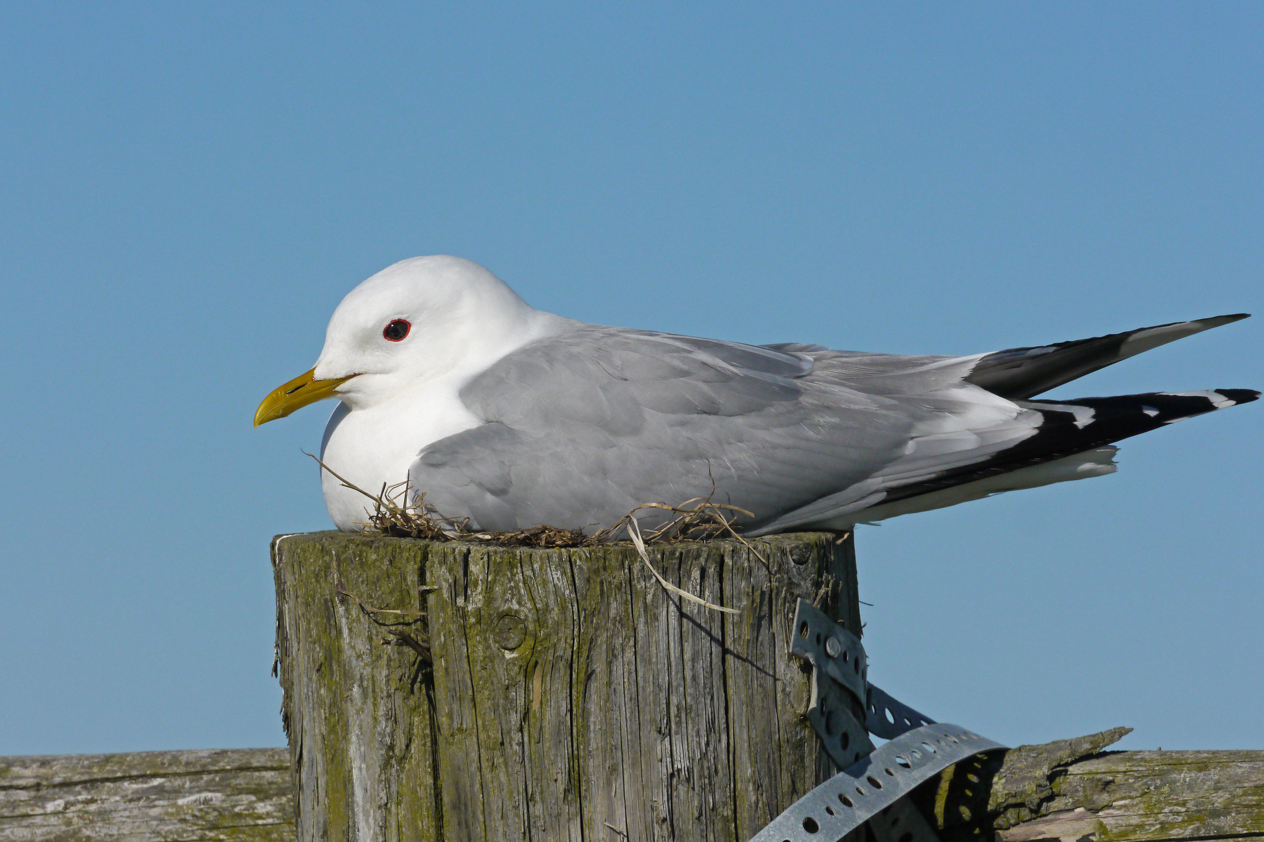 Adult summer Common Gull