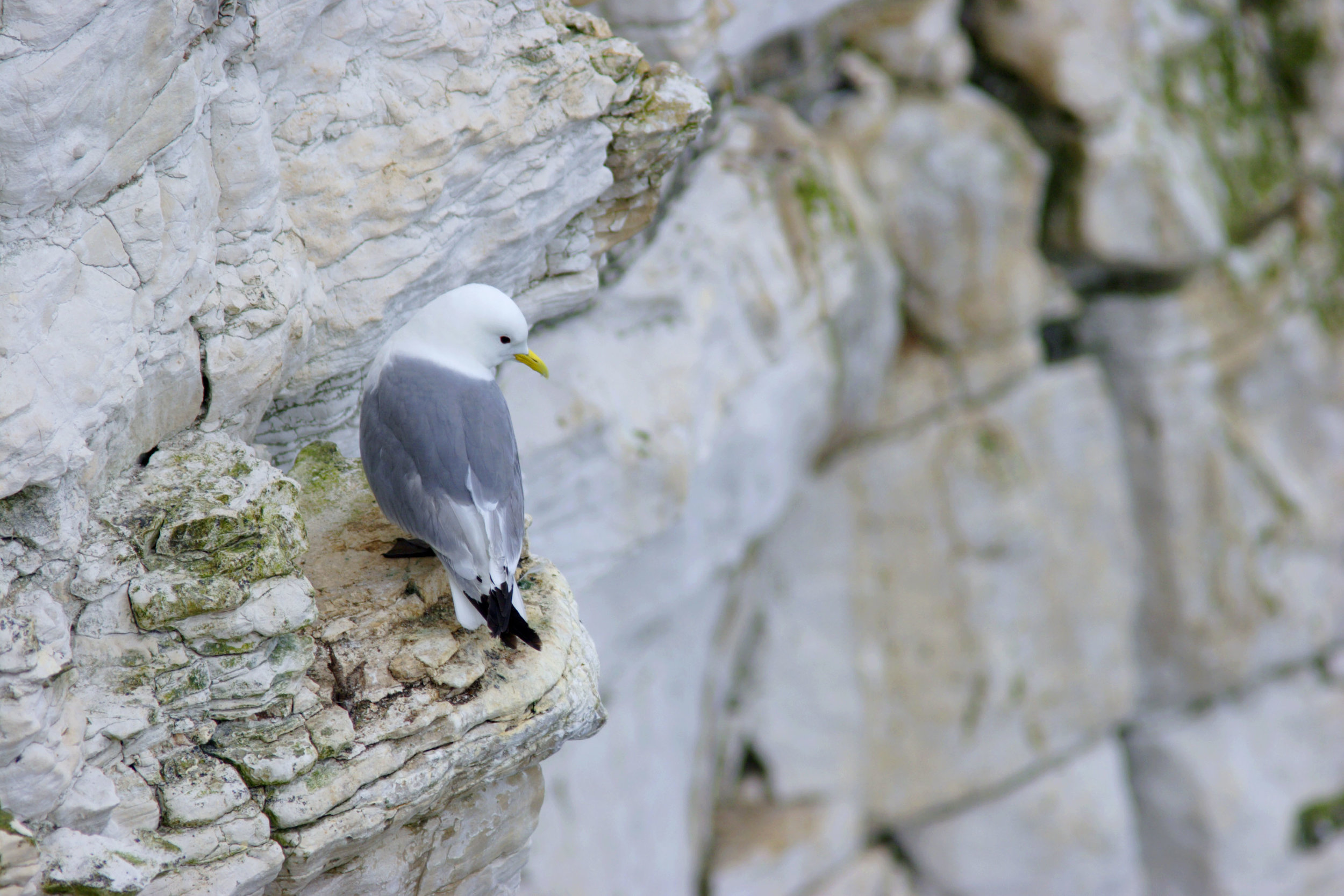 Adult Kittiwake