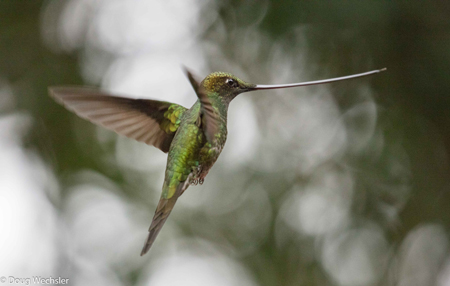 Copy of Sword-billed Hummingbird _F5A1589-2.jpg