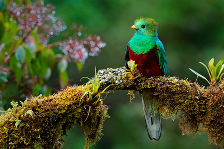 shutterstock_551809153-Resplendent quetzal.jpg