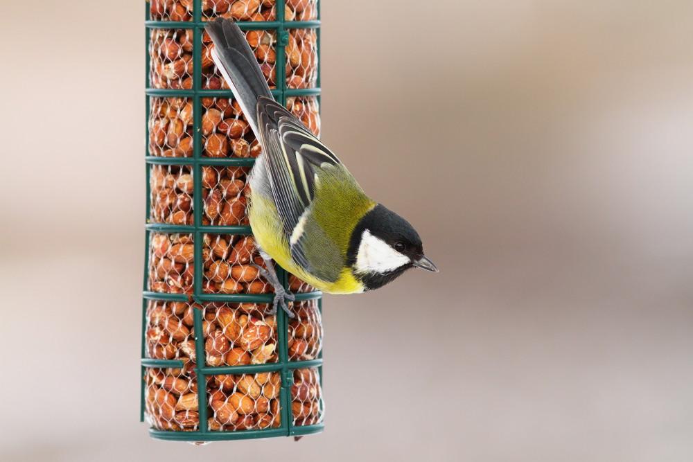 Great tit feeding on wild bird peanuts.jpg