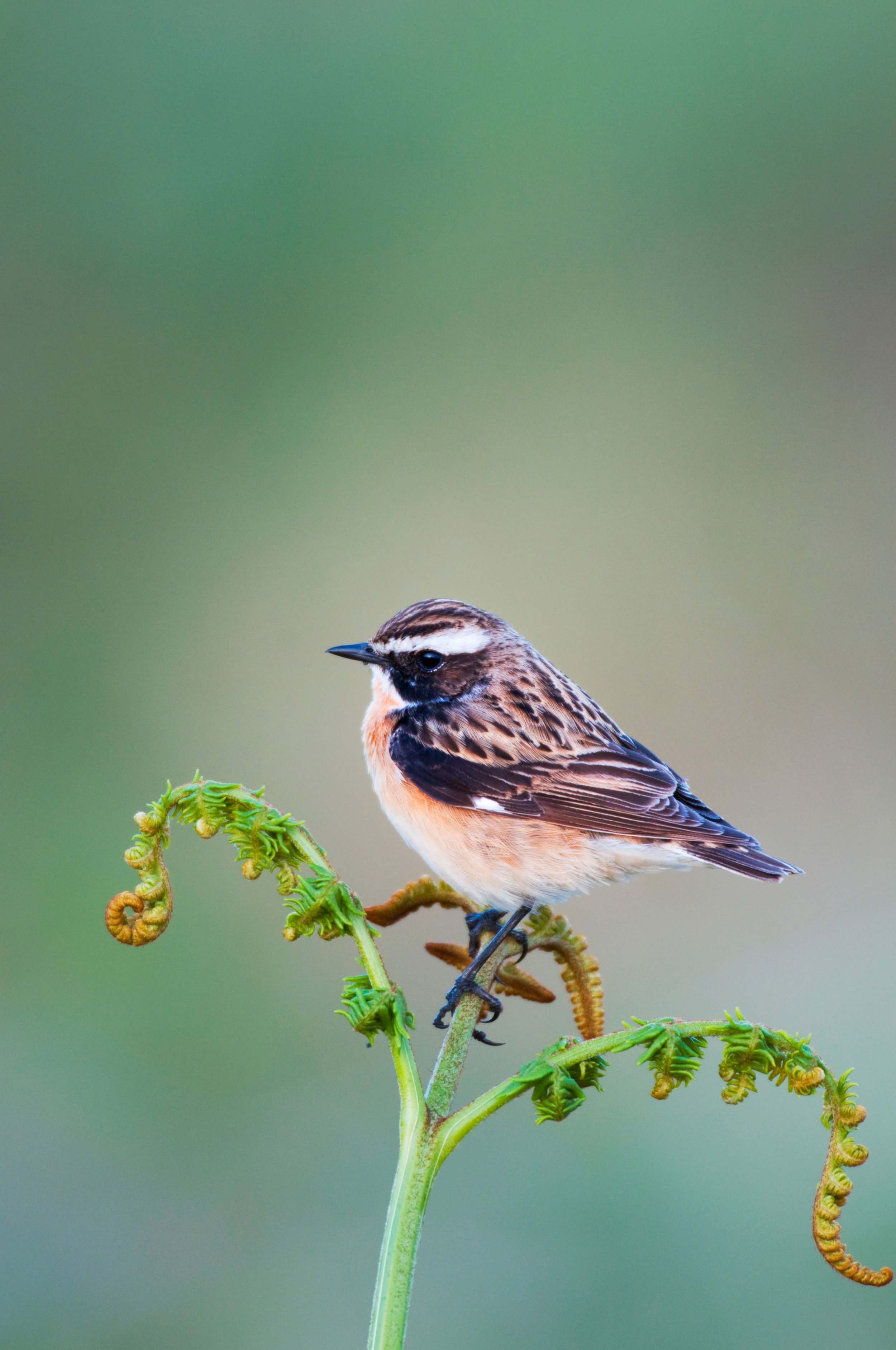 Spring male Whinchat
