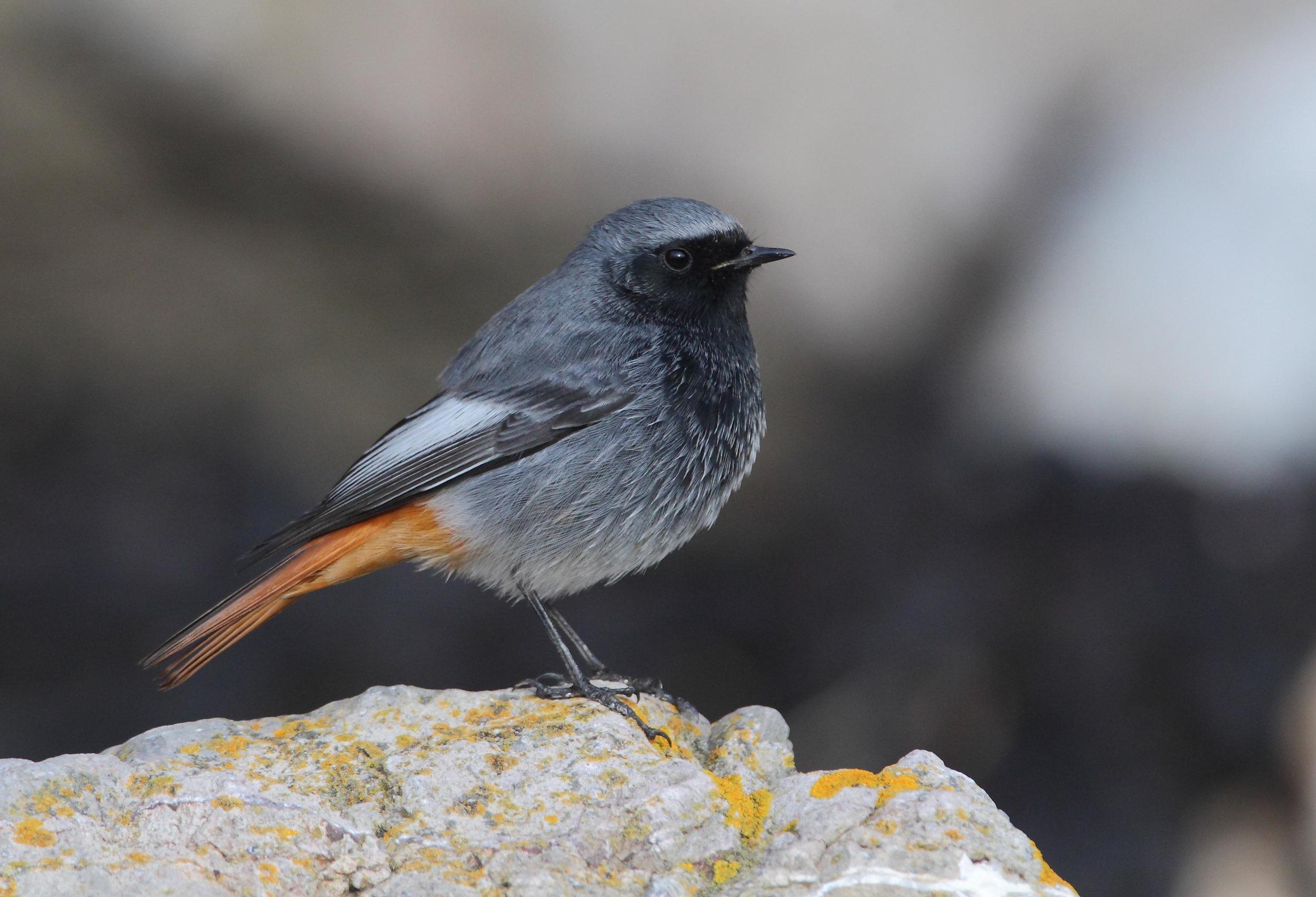 Summer male Black Redstart
