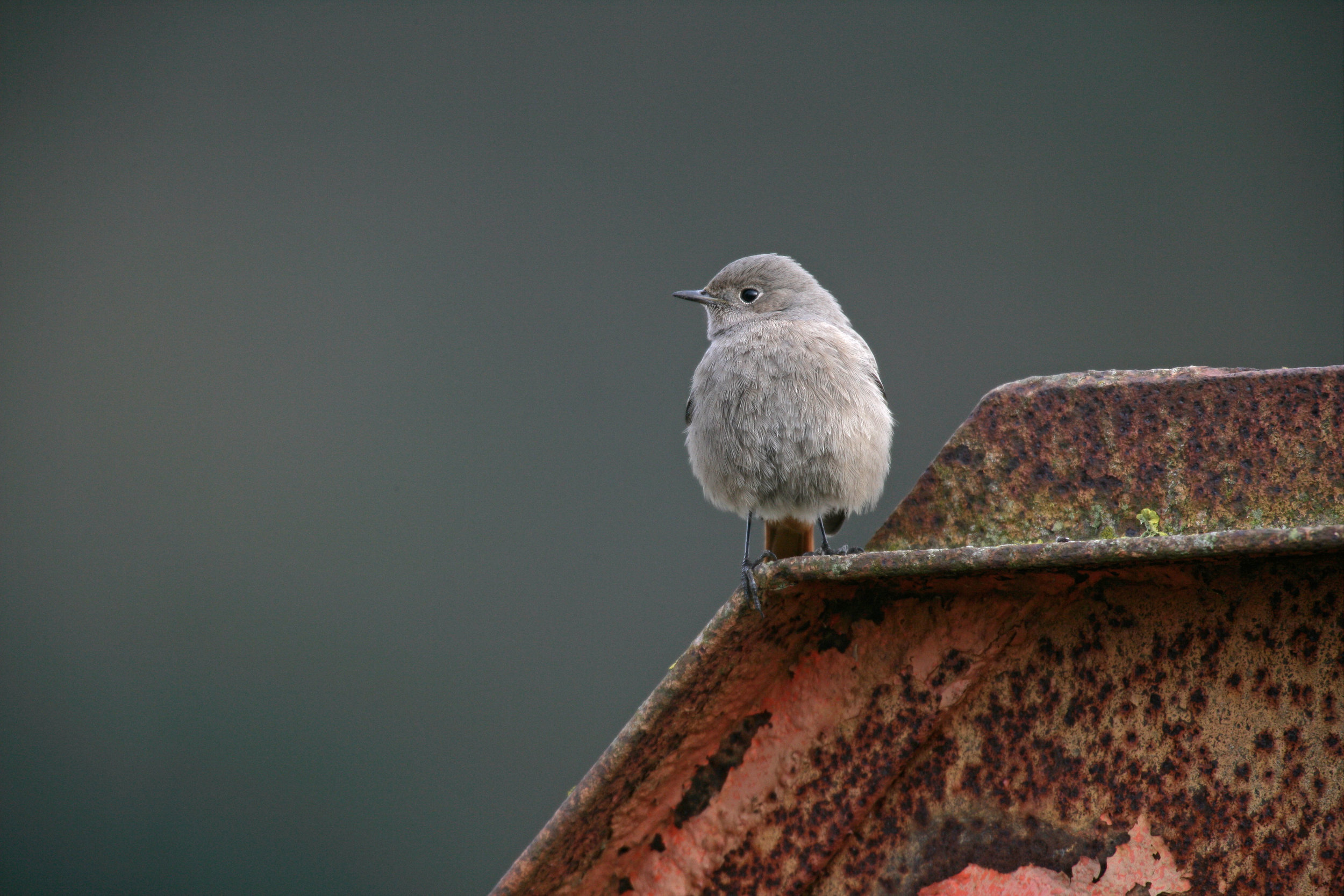 Female or first year Black Redstart