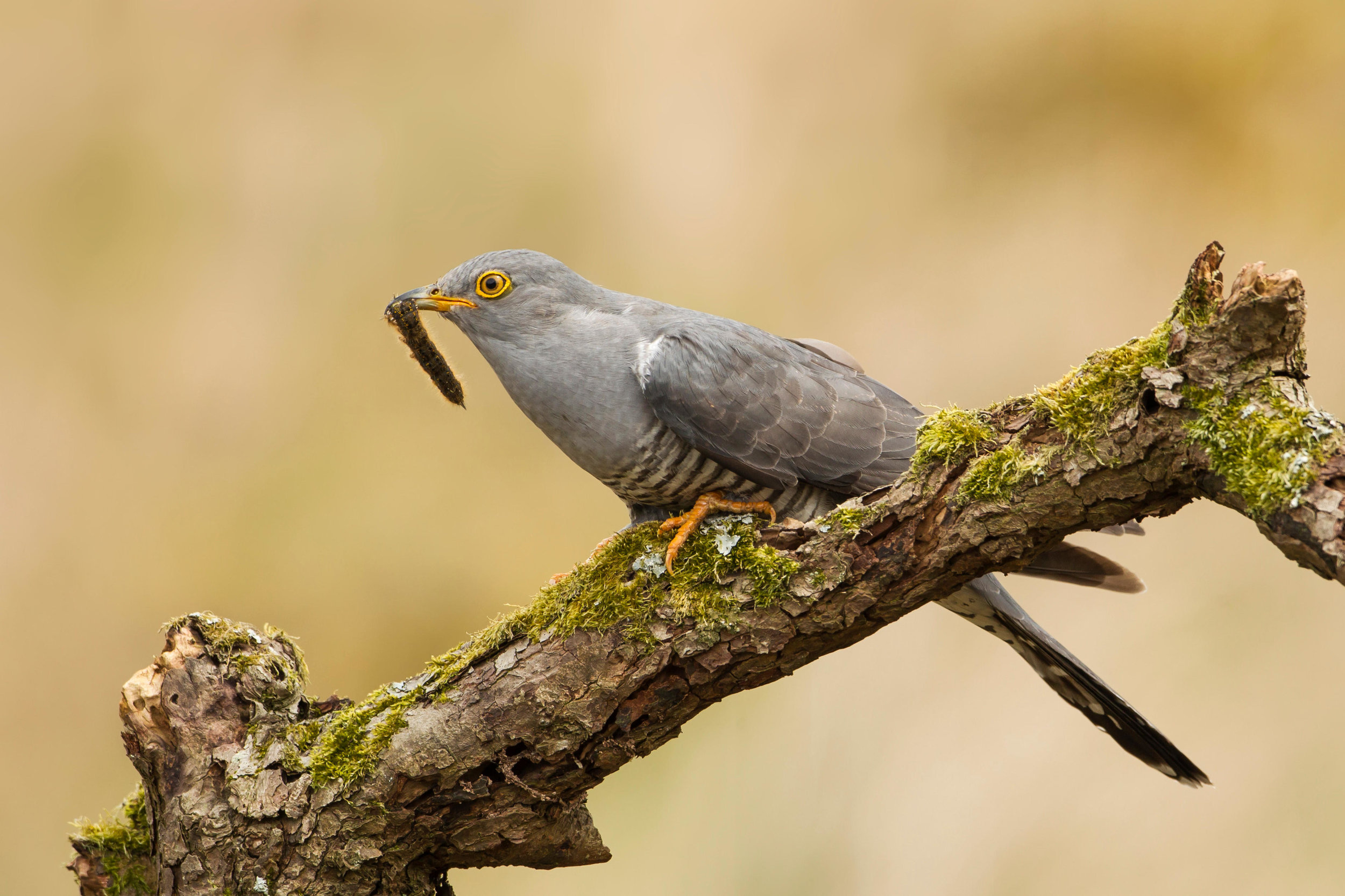 Adult Cuckoo with caterpillar