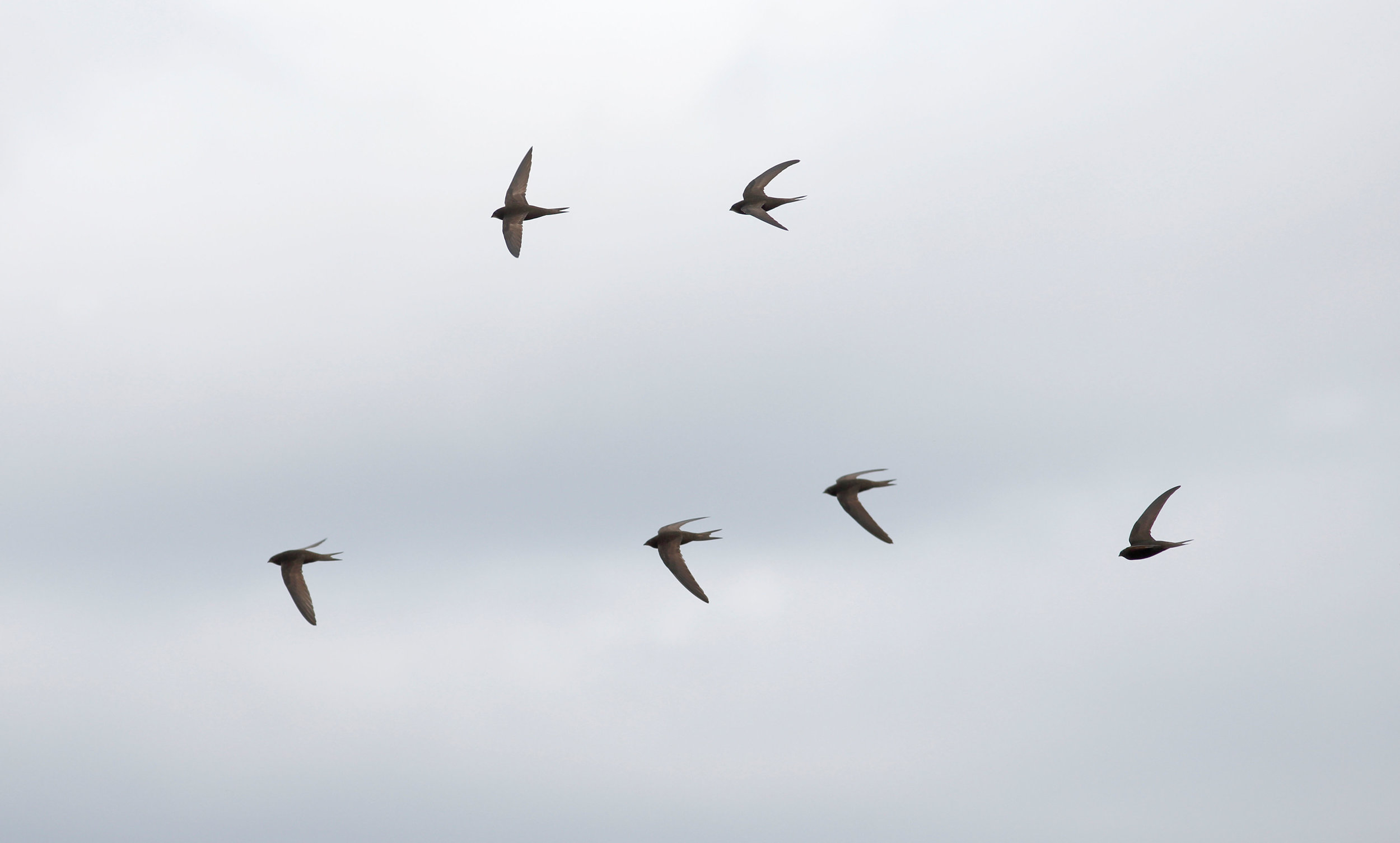 In later summer, Swifts form screaming flocks