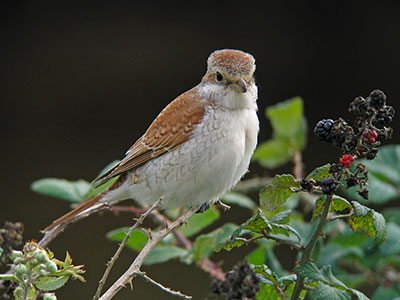 Red-backed Shrike. Pic Mike Weedon