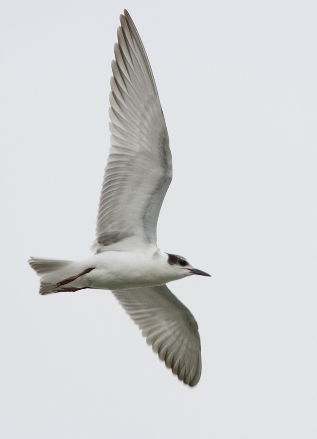 Adult winter Whiskered Tern