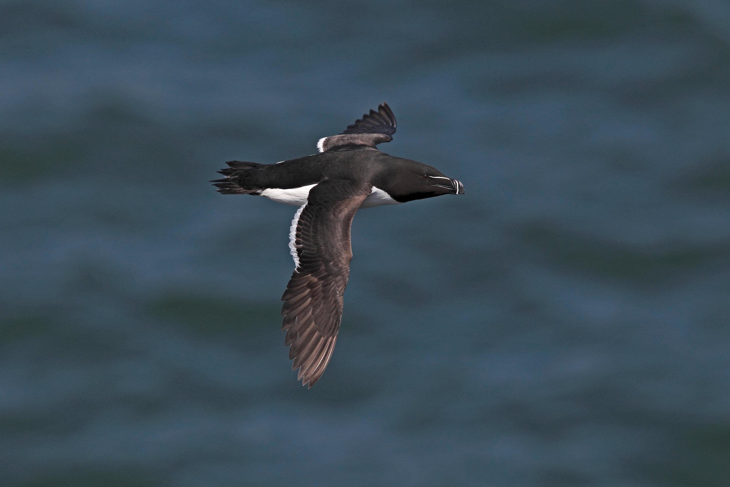 Summer Razorbill in flight