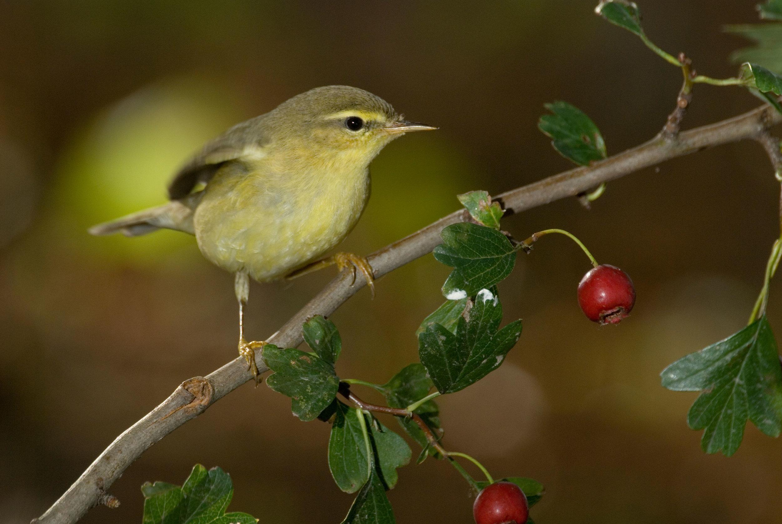 Autumn Willow Warbler